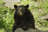 stock photo of cade  - A black bear rests in the shade - JPG