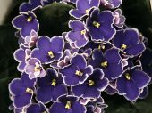 Close-up of a blue African violet