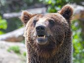 European Brown Bear (ursus Arctos Arctos)