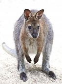stock photo of wallabies  - Red - JPG