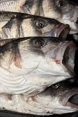 picture of fighter-fish  - Rod caught sea bass, a delicacy and expensive fish from the british coast