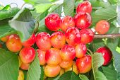 Vivid Rainier White Cherry Berry