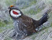 picture of sagebrush  - Male Blue Grouse displaying colors during mating season on a hillside covered with grass and sagebrush - JPG