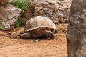 Big Turtle On  Walk