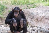 Chimpanzee Sitting On Stones