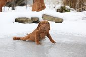 Hungarian Short-haired Pointing Dog Sliding In Winter