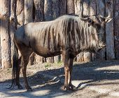 stock photo of wildebeest  - Wildebeest standing in the paddock summer day - JPG