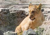 Portrait Of A Lion Cub In Nature