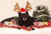 Black Chien De Berger Belge With Reindeer Antlers In A Christmas