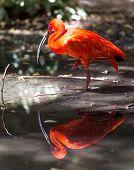 Portrait Of Red Ibis