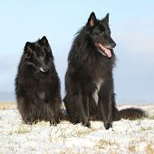 foto of bitches  - Two amazing Groenendaels ten years old bitch with six years old son sitting in winter - JPG