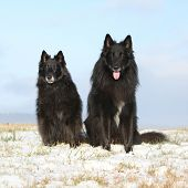 stock photo of bitches  - Two amazing Groenendaels ten years old bitch with six years old son sitting in winter - JPG