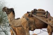 picture of camel-cart  - A camel - JPG