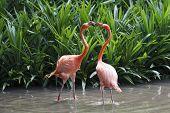 Two Flamingos fighting