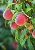 Peach Tree Fruits