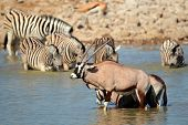 Gemsbok antelopes (Oryx gazella) and plains zebras (Equus burchelli) in water, Etosha National Park,