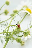 Close up of a ladybug on a Chamomile flower