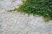 stock photo of creeping  - old plaster with fresh creeping green ivy - JPG