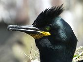 Shag (close up view of head)
