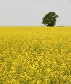 Lone Tree In Rapeseed Field