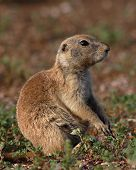 Prairie Dog Resting
