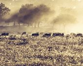 Sheeps in morning meadow