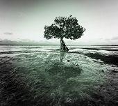 Lonely Mangrove tree in Florida coast