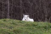 stock photo of arctic fox  - A lone Arctic Fox in a grassy plain - JPG