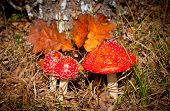 fly agaric mushrooms in autumn forest