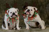 christmas dog - two english bulldogs wearing antlers on green background