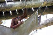 Orangutan in a hammock.
