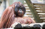 Beautiful male orangutan
