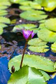 Close up Attractive Purple Lotus Flower with Green Leaves on the Water at Mahe Island in Seychelles.