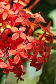 pic of jungle flowers  - Close up Attractive Red Ixora Flower - JPG