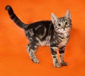 Striped Kitten Standing On Orange