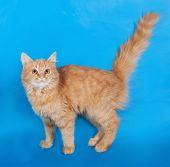Red Fluffy Kitten Standing On Blue