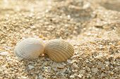 Two Seashells Kissing