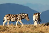 A pair of plains (Burchells) Zebras (Equus burchelli), South Africa