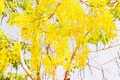 Fully yellow color of Golden flower or Cassia fistula with blue sky background