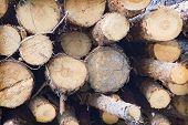 Pile Of Felled Tree Trunks