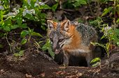 Grey Fox Vixen (urocyon Cinereoargenteus) Emerges From Den