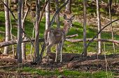 White-tailed Deer (odocoileus Virginianus) Stands Amongst Trees