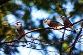 Three Java Sparrows