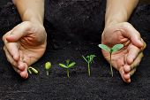 foto of germination  - hands holding plants growing in a sequence of seed germination on soil - JPG