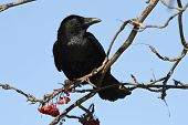 Black Crow Is Sitting On A Branch Of Rowan