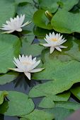 Three white water lily