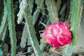 Dragon Fruit Pitaya In A Tropical Garden