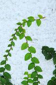 stock photo of creeper  - Image of green creeper plant on wall - JPG
