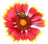 Gaillardia Flower With Honey Bee Isolated