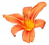 Orange Flower Of Daylily Close Up Isolated